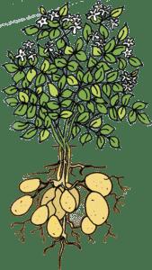 à la découverte de la pomme de terre