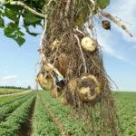 La pomme de terre créée en Belgique