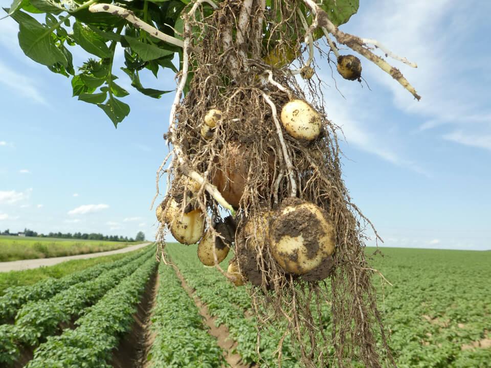 Louisa la pomme de terre belge résistante au mildiou