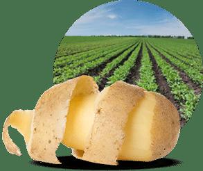 La maturité de la pomme de terre
