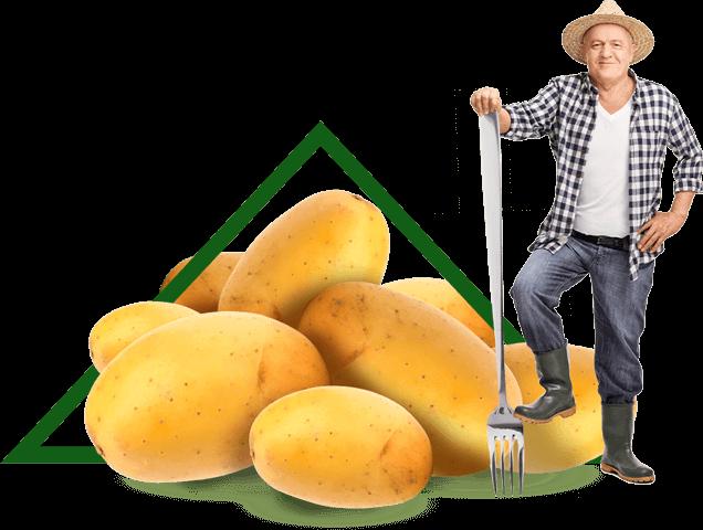 Les pommes de terre sont peu caloriques et light